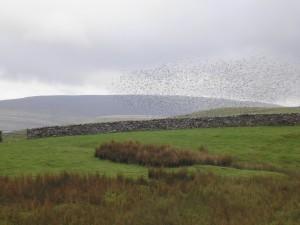 Murmuration of starlings over Ingleborough